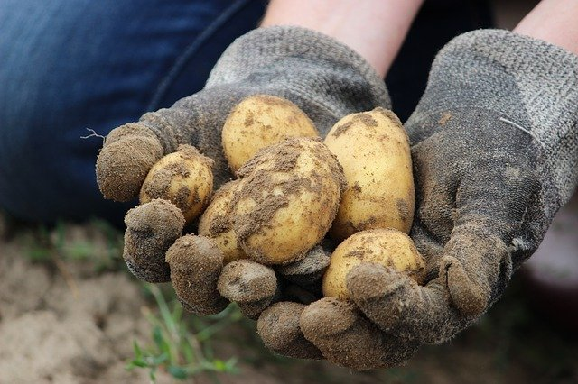 brambory v hrsti